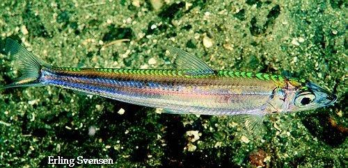 silverfisk