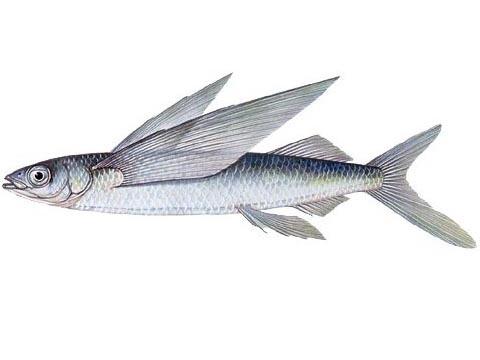 Större flygfisk