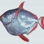Glansfisk