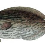 Engelsk svartfisk
