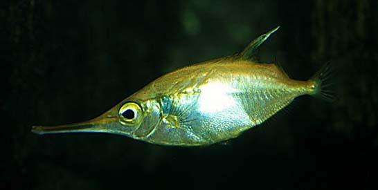 Långnosig snäppfisk
