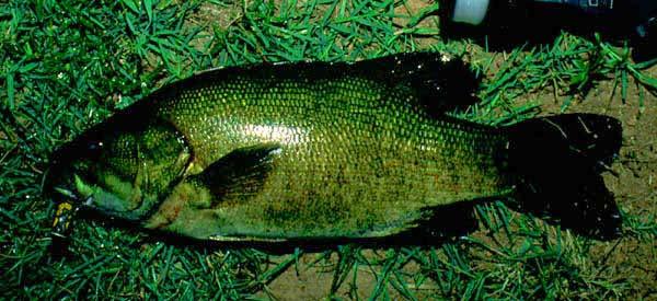 Småmunnad bass