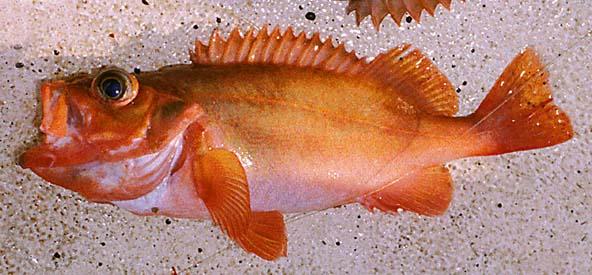 Större kungsfisk